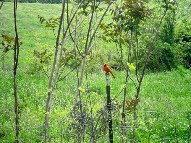 An attractive Cardinal scoping out our overgrown grass..